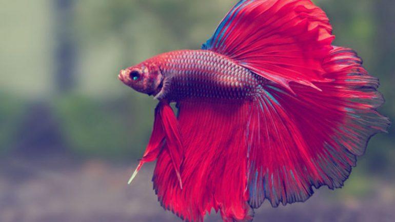 Rüyada Süs Balığı Görmek Ne Anlama Gelir, Neye İşarettir?