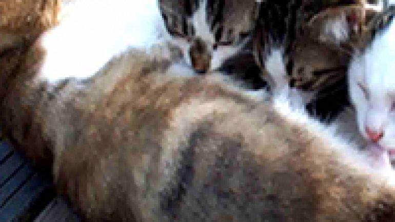 Rüyada Kedi Emzirmek