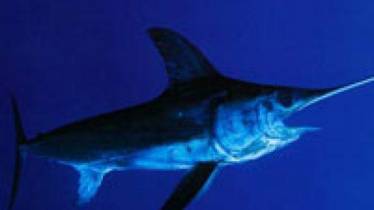 Rüyada Kılıç Balığı Görmek
