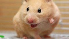 Rüyada Hamster Görmek