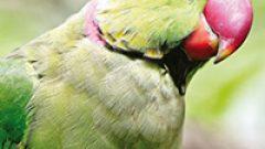 Rüyada Ağlayan Papağan Görmek Ne Anlama Gelir, Neye İşarettir?