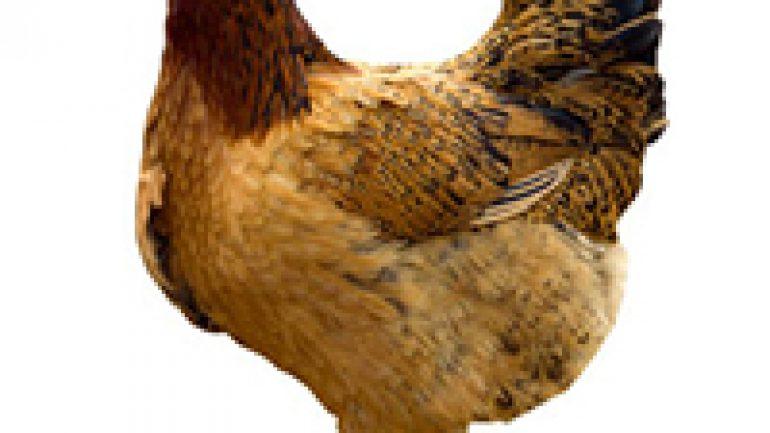 Rüyada Ağlayan Tavuk Görmek Ne Anlama Gelir, Neye İşarettir?