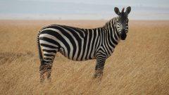 Rüyada Zebra Görmek Ne Anlama Gelir, Neye İşarettir?