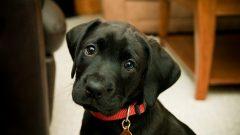 Rüyada Siyah Köpek Yavrusu Görmek Ne Anlama Gelir, Neye İşarettir?