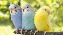 Rüyada Muhabbet Kuşu Görmek Ne Anlama Gelir, Neye İşarettir?