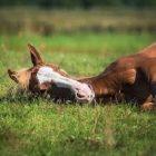 Atın Uyuması