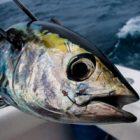 Rüyada Palamut Balığı Görmek