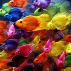 Rüyada Renkli Balık Görmek