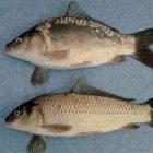Rüyada Sazan Balığı Görmek