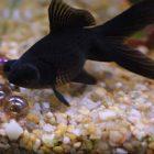 Rüyada Siyah Balık Görmek