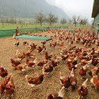 Rüyada Tavuk Sürüsü Görmek